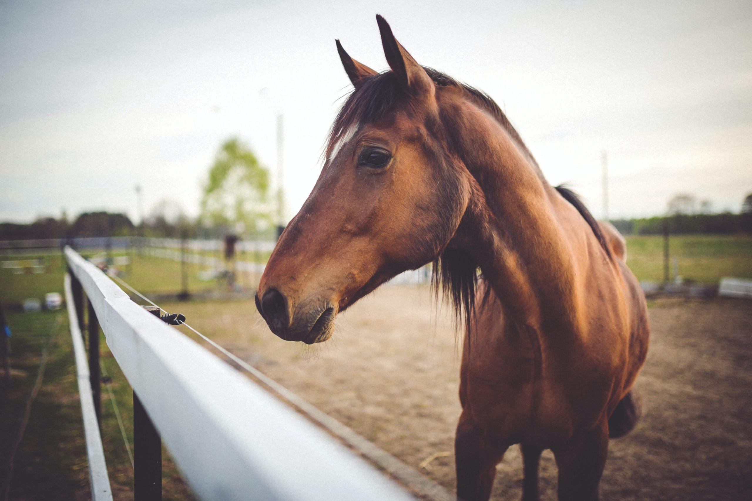 Equine Groom Merllyn Sport Horses & Ponies, Holywell